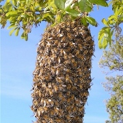 This is a Honey Bee Swarm